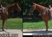 13 year-old - Quarter Horse - Male - North Carolina