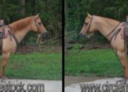 14 year-old - Quarter Horse - Male - North Carolina