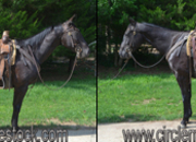 5 year-old - Quarter Horse - Male - North Carolina