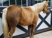 10 year-old - Palomino - Female - 13.3hh - Wisconsin