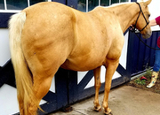 14 year-old - Palomino - Female - 14hh - Wisconsin