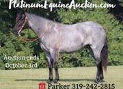 Place your bids at www.PlatinumEquineAuction.com experienced ranch horse, big stout and gentle for anyone to ride on trails or around the ranch! Barrels, Penning, Sorting, Ropes Head/Heels!