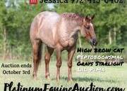 TOP PEDIGREE!!! High Brow Cat, Peptoboonsmal, Grays Starlight, Little Puma and Sweet Little Pepto!!! Place your bids at www.PlatinumEquineAuction.com Ranch ready, stout and gentle for anyone to ride! Penning, Sorting, Ropes Head/Heels, Cutting… Top Prospe