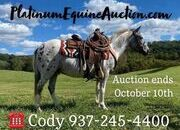 Place your bids at www.PlatinumEquineAuction.com beginner/Kid safe ranch/trail Pony, gentle for any rider, Loud Colored!