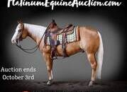 Place your bids at www.PlatinumEquineAuction.com Family safe ranch/trail horse, gentle for any rider on trails or around the ranch! Top Show Horse, AQHA Points Earner!!!