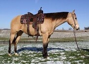 Sunfrost Bred, Experienced Ranch Horse, Ropes, Pens, Great on trails, Beginner Safe, Good handle and lope, Super nice horse!