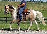 place your bids at PLATINUMEQUINEAUCTION.COM beginner safe, bombproof, trail horse, broke to drive!!!