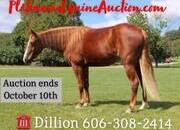Place your bids at www.PlatinumEquineAuction.com Family safe trail horse, gentle for any rider on trails or around the ranch! Good handle, very gentle for beginners!!!