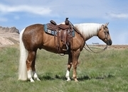 Beautiful Chocolate Palomino Gelding!  Loves Attention and is Sweet as Pie!