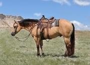 Shapey Buckskin Pony!  Adults Can Ride, too!  Super gentle!