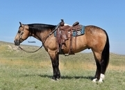 Big Beautiful Buckskin Gelding!  Trail/Ranch/English.  Own son of The Golden Deck!