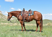 All-Around Family Show Horse!  Gentle to Ride The Trails.  Own Son of Hang Ten Surprize!