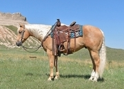 All-Around Palomino Gelding.  Gentle for the Entire Family!  Own son of Shiners Voodoo Dr!