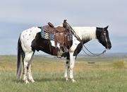 Beautiful Paint Gelding.  Ranch Horse Deluxe!!