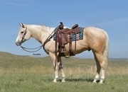 Has been shown at Local Shows!  Kids love him!  Gentle for Everyone to Ride!