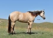 In Foal to HF Mobster!  Beautiful Buttermilk Buckskin Mare by Electric Code!