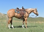 Beautiful 4 Year Old Dun Gelding!  Ranch/Trail Deluxe!