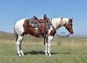 Grandson of Banjo Whiz!  Gorgeous Paint Gelding!  Ranch Horse Deluxe!