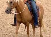 Super gentle palomino mare pony