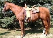 Registered Quarter Horse Gelding