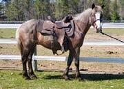 Spike- Quarter Pony Gelding