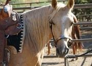 Registered Palomino Missouri Foxtrotter Gaited Trail Gelding