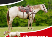 HIGHLIGHT! Champagne is absolutely stunning, safe and gentle in every way! Trail & family horse super star.
