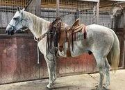 Grey Ranch Horse