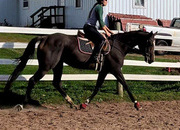 Athletic, Good Moving, Attractive Unraced Thoroughbred Mare