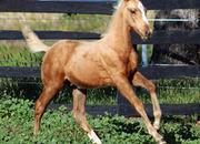 2020 Fancy Palomino Irish Sporthorse Colt - Lovely Movement & Conformation