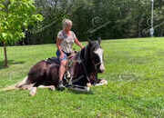 Tennessee Walking Horse/Spotted Saddle Horse Gelding