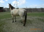 nice buckskin ranch gelding aka hondo