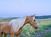 Golden Palomino Missouri Foxtrotter Gaited Trail Gelding