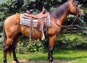 Bay Quarter Horse Gelding