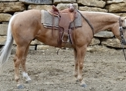 $19,000. Money Earned Heading at US Ropins. Go anywhere Trail horse. Safe for anyone in America family horse.