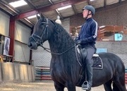 PALOMA --  Friesian Mare (8 yrs old yrs old)