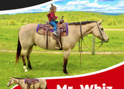 registered 11yr Buckskin. If you are looking for the perfect family horse look absolutely no further.