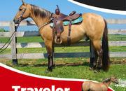 Traveler, a very well broke lineback dun Quarter Horse gelding that is versatile, experienced, and seasoned.