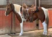Amazing Paint Pony Gelding