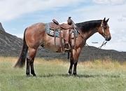 Pretty Bay Roan Gelding that Loves People!  Ranch/Trail Horse!