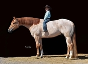 Big Beautiful Red Dun Gelding!  Gentle and Will Take Care of You!