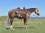 Cute Dark Palomino Gelding sired by Gunner On Ice!  Ranch/Trail Horse!