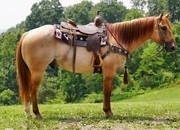 Canyon is a handsome red dun roan gelding, standing 15 hands and 7 years young! He is one of a kind with a rare color, trial mount,ranch pleasure, Gentle