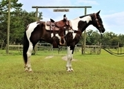 Big Black and White Paint Gelding Ranch, Rope, and Trail horse.