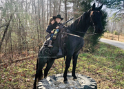 Blue Roan Tennessee Walking Gaited Family Trail Gelding