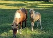 Mini Mare and Filly