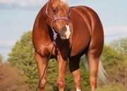 """2016 model AQHA registered """"Rapt In A Chip"""",Ringo has all the fancy bells and whistles, he is truly one hand broke! If you can hold the reins, you can ride him. He is suitable & safe for any level rider, including children."""