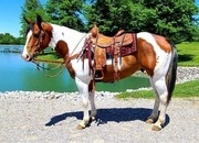 Gambler -safe and gentle, family horse, lesson horse,finished trail horse. and more!