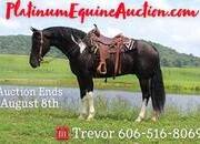 Place your bids at www.PlatinumEquineAuction.com Very smooth gaited, great on trails, used around the ranch!