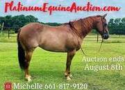 HIGH BROW CAT bred Cutting/Roping, has been ranched on, Place your bids at www.PlatinumEquineAuction.com beginner safe trail horse, gentle for any rider on trails, around the ranch or in the show pen!